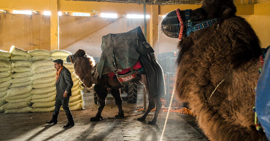 Inside a Turkish Camel-Wrestling Festival