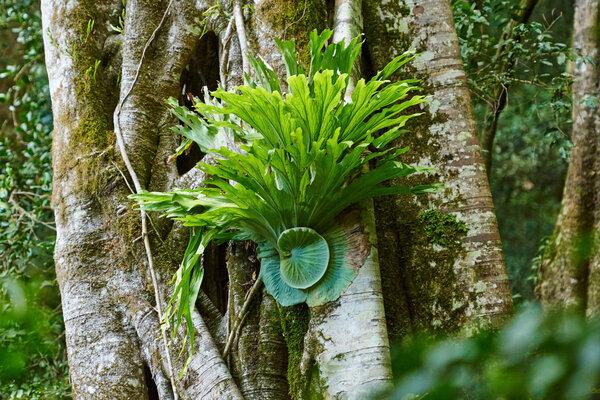 A staghorn fern in Lamington National Park in Queensland, Australia.