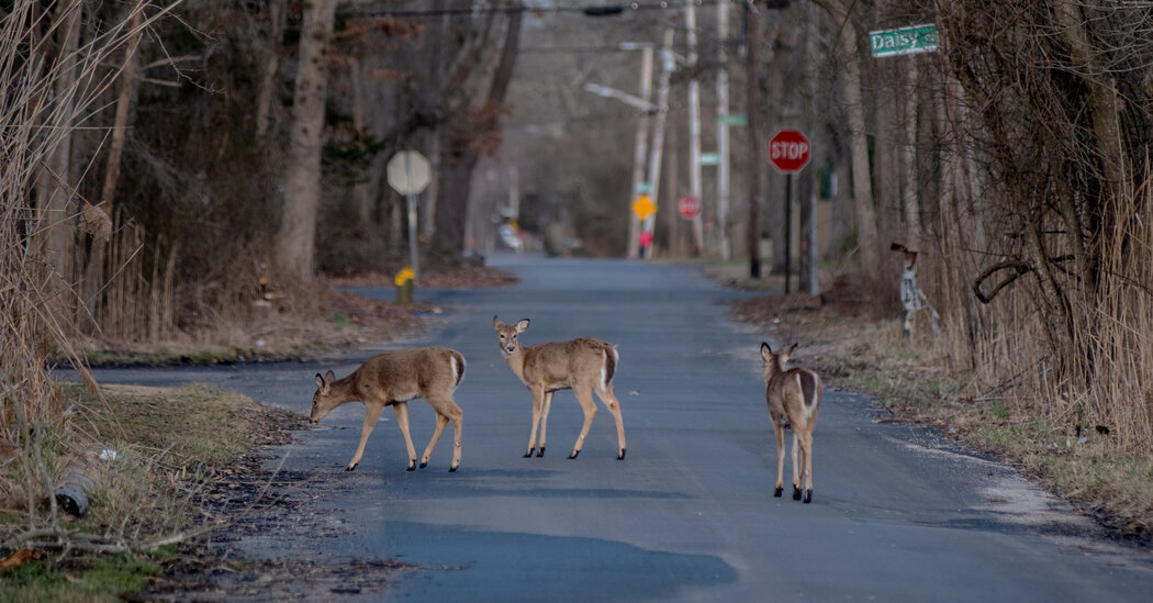 A Third of White-Tailed Deer Tested in Survey Were Exposed to Coronavirus