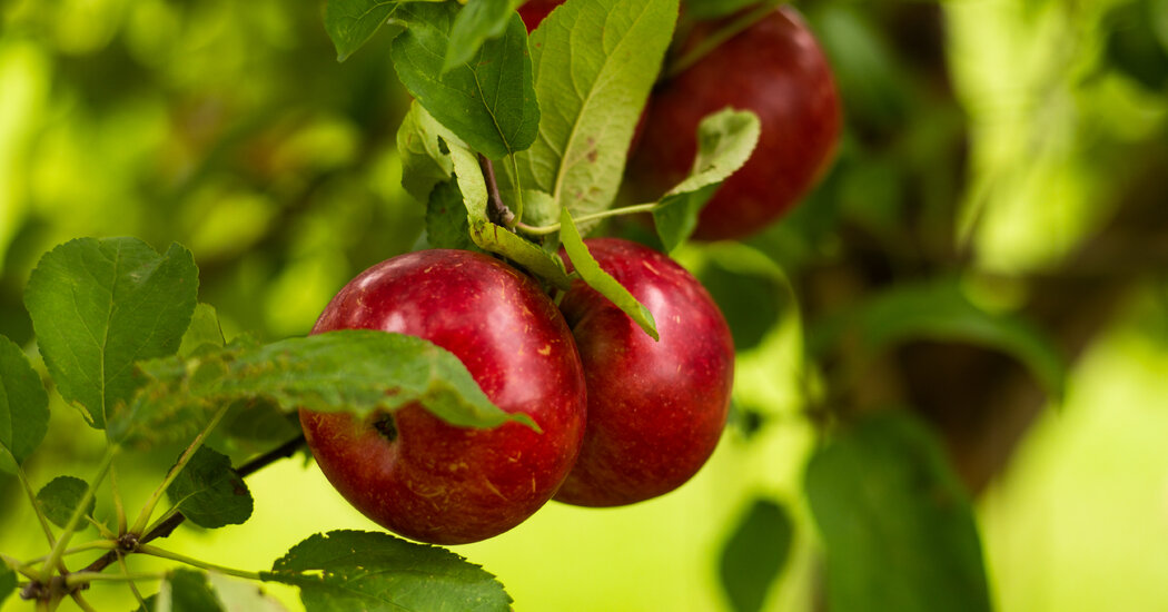 , McIntosh Apple A Sweet Canadian Discovery, 210 Years On., The Habari News New York