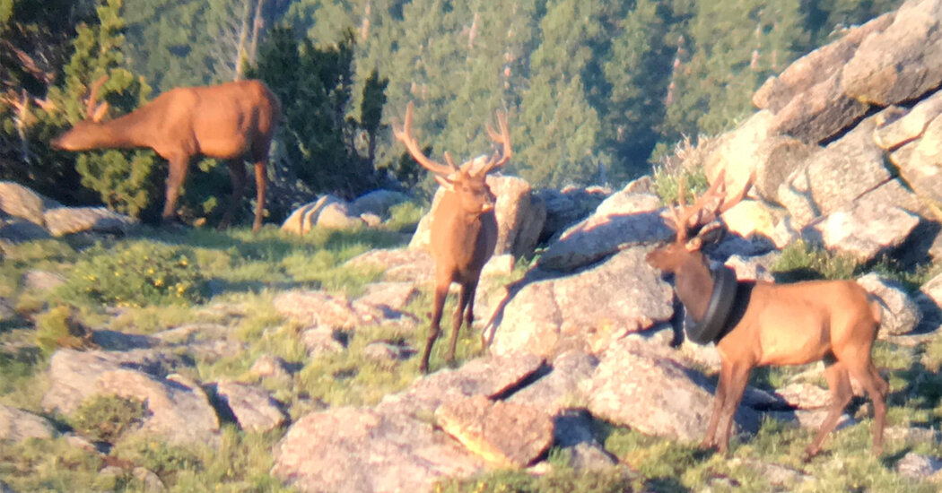 , After 2 Years, a Tire Is Removed From an Elk's Neck in Colorado, The Habari News New York