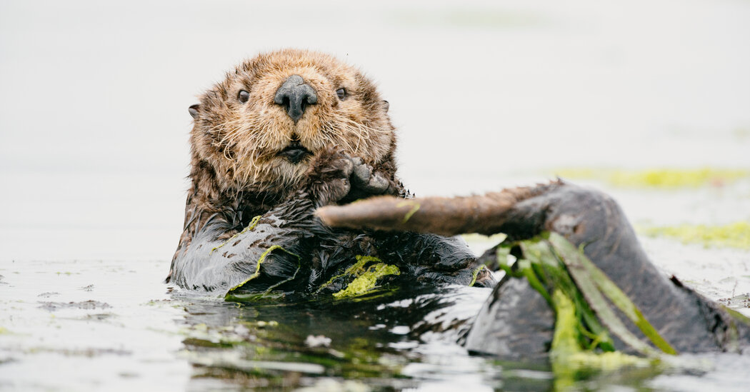 , How Hungry Sea Otters Affect the Sex Lives of Sea Grass, The Habari News New York