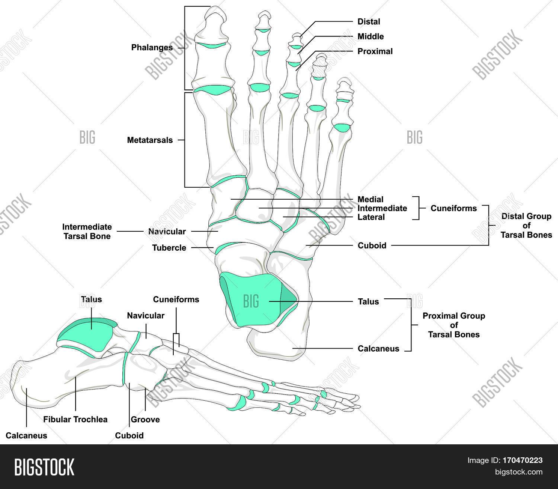 Human Foot Bones Image Amp Photo Free Trial