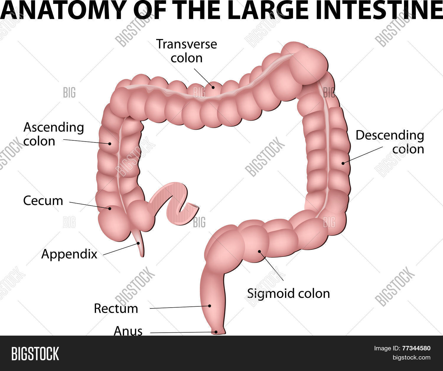 Large Intestine Vector Amp Photo Free Trial