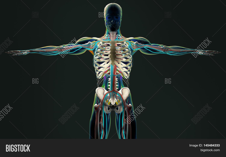 Human Body Anatomy Upper