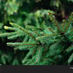 Christmas Fir Tree Image Photo Free Trial Bigstock