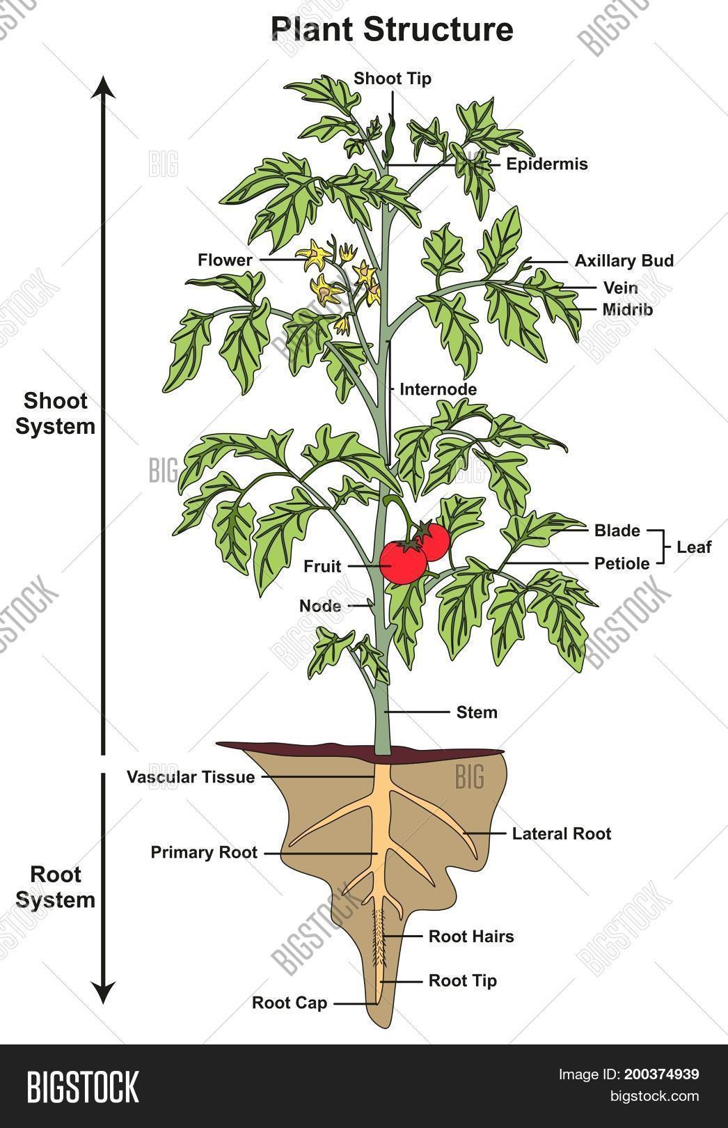 Plant Structure Infographic Diagram Image Amp Photo