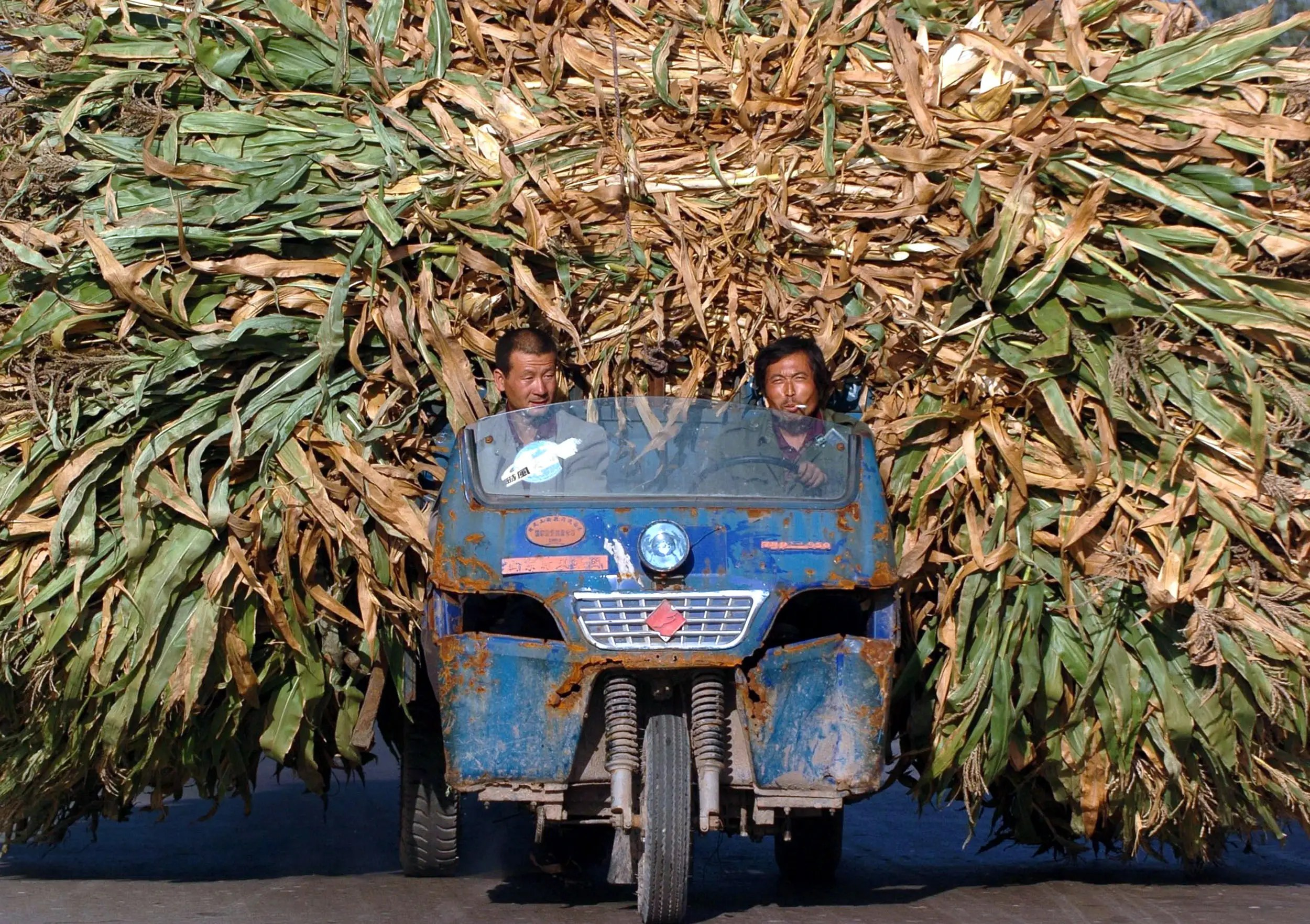 These Chinese farmers are transporting harvested barley.