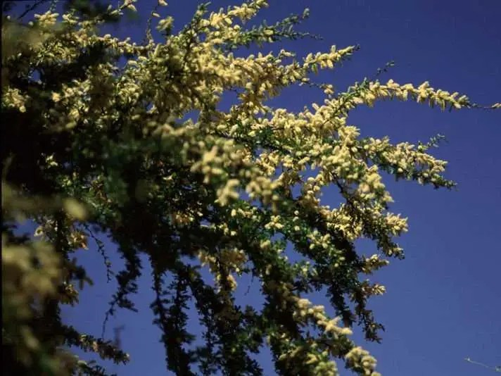 800px Acacia_rigidula