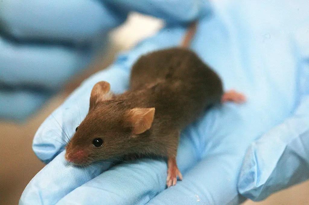 lab mouse mice rat