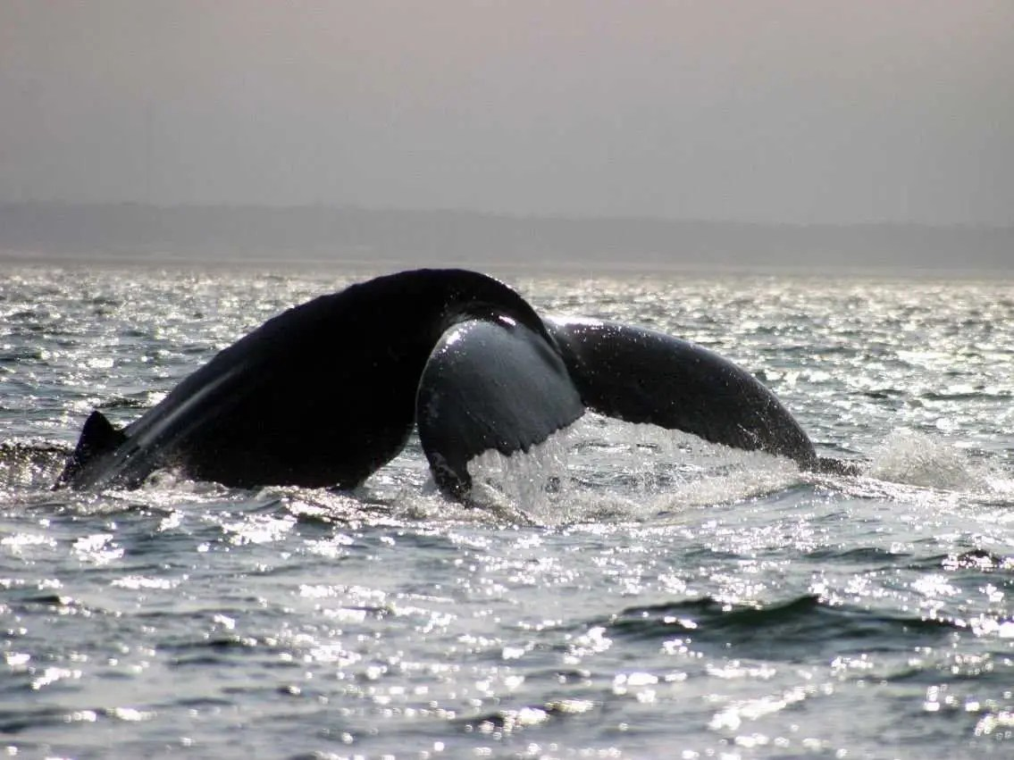 Kayak in the Bay of Fundy in New Brunswick, Nova Scotia. Chances are you'll run into more than one humpback whale.