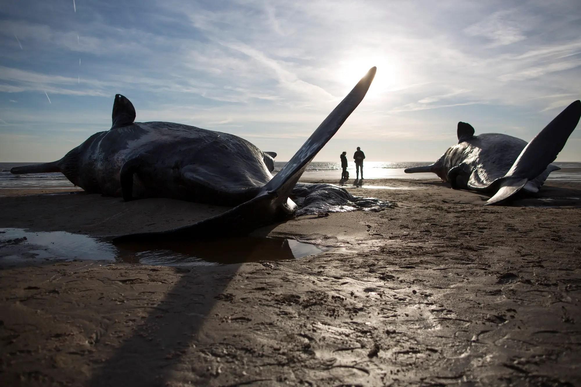 whale stranding skegness