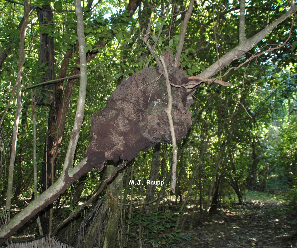 Large termite nests are often found high in trees.
