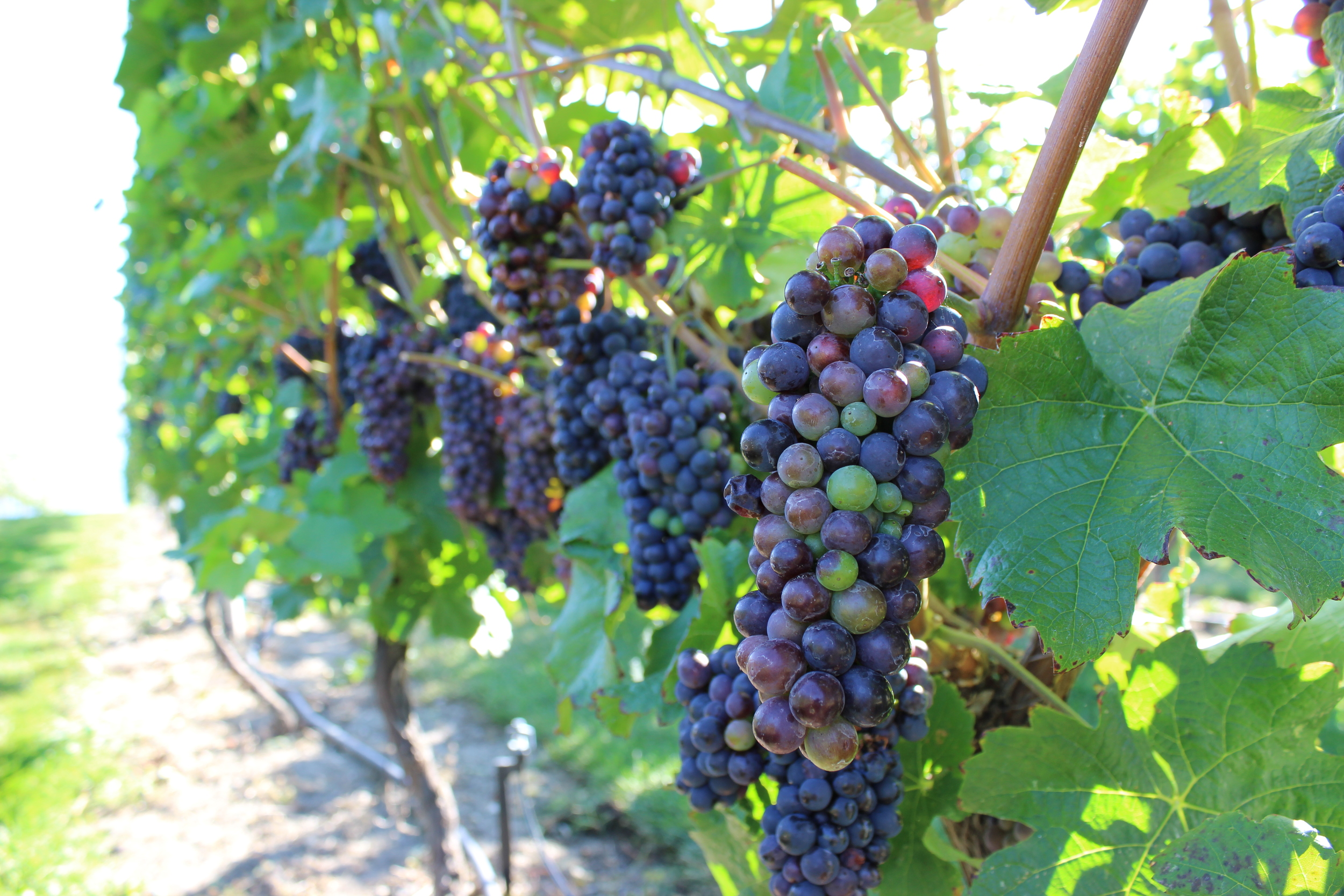 Pinot Noir at Mission Hill Family Estate