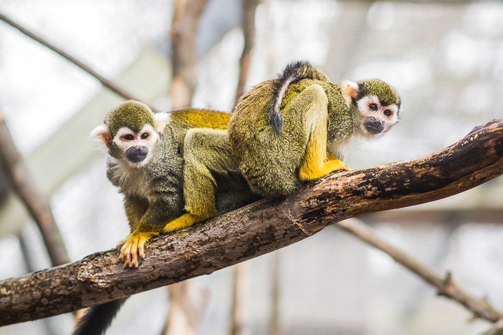 Common Squirrel Monkeys Even though this was taken at the Riverview Park and Zoo in Peterborough, it was my first 'wildlife' type shot that looked half decent. The pose of the monkeys is great and the texture on the fur is even better.