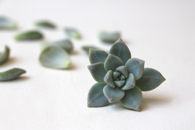 Las hojas suculentas y: Propagación de plantas suculentas a través de agujas + Hojas. Aprender cómo propagar suculentas de las hojas y recortes.