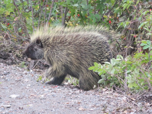 I heard it's considered bad luck to kill a porcupine here. Except when you are in need and hungry - one would appear to help you.