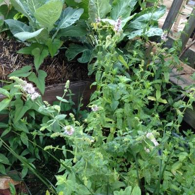 Flowering mint!