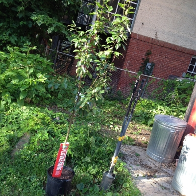 Harvest gold crabapple (Malis hybrida) waiting patiently for me to save its life.