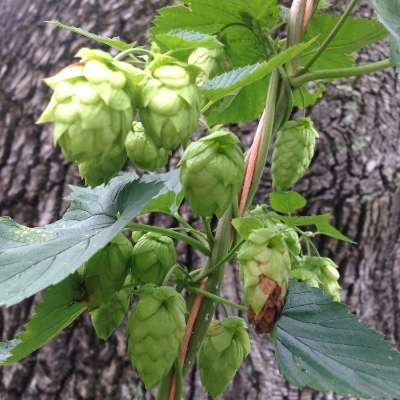 "Cascade hops (Humulus lupulus, ""Cascade"") climbing up straw bale twine in the front yard."