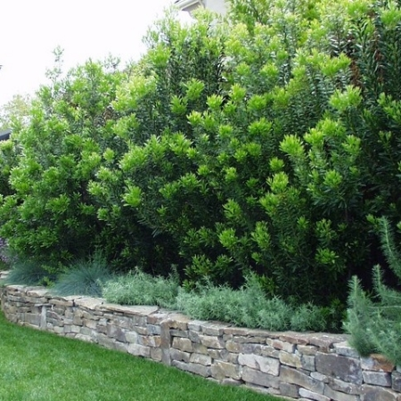 Bayberry hedge sitting inside a very handsome stone bed. This is a Pacific variety. Gorgeous.