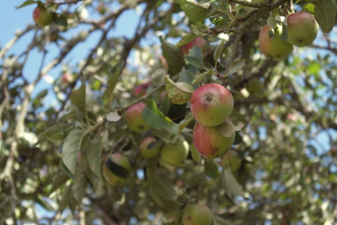 Apples growing at Lepe Conservation Point
