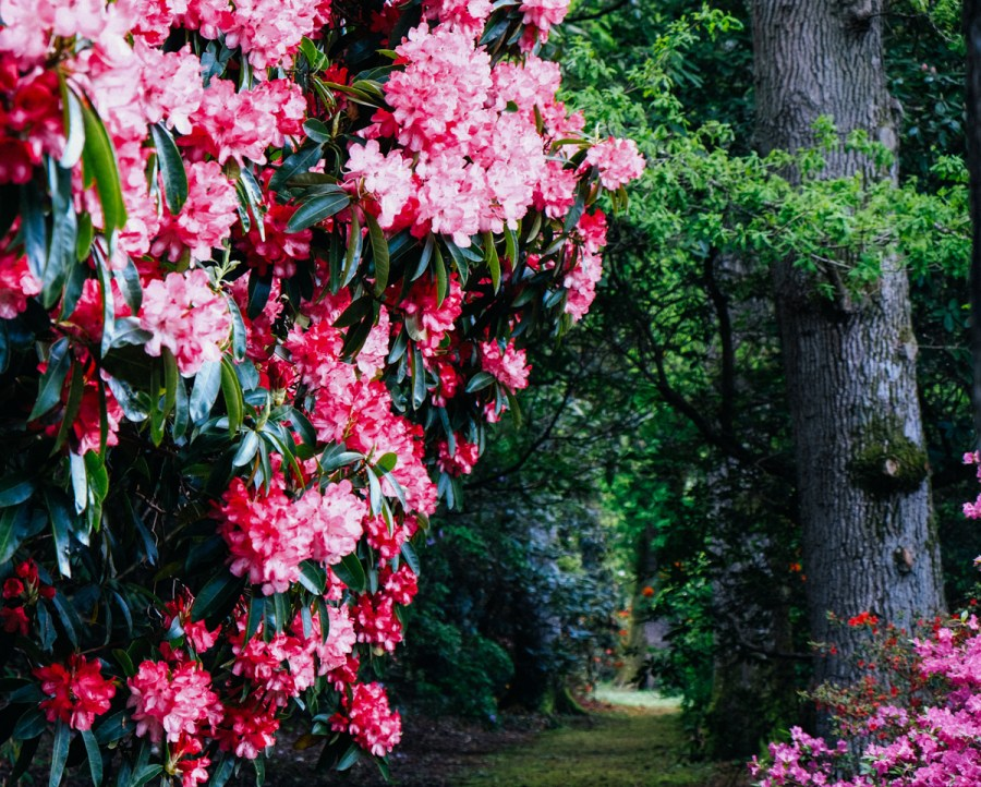 AZALEAS AND RHODODENDRONS AT EXBURY GARDENS