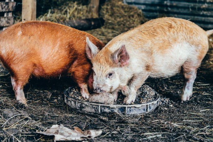 Ginger & Toggle, piglets at Eco Gite Lenault