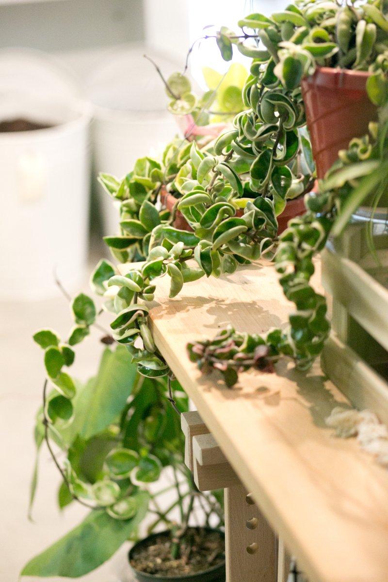 Adorable Consider Hanging A Like This Hoya Getting Your Plants Ready