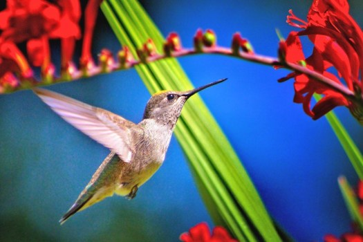 Hummingbird on Crocosmia 'Lucifer'  photo: Schlomo Shalev