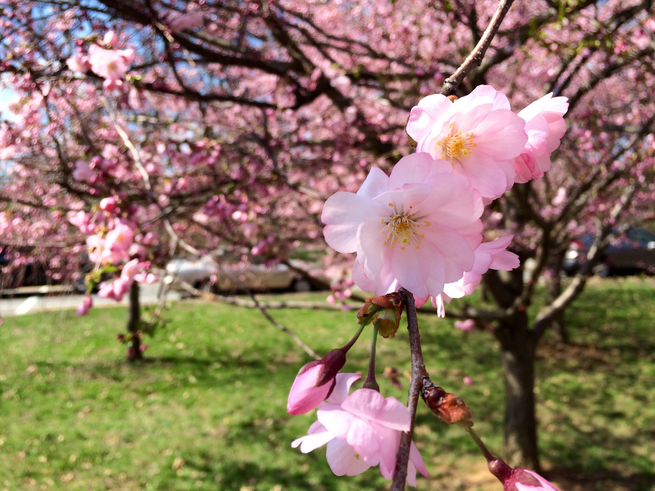 Cherry Blossoms on Saturday