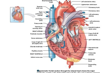 Interior heart dissection electronic wallpaper electronic wallpaper anatomy of heart interior view heritance me anatomy of heart interior view heart brain anatomy of the brain class blog bio heart anatomy bio heart anatomy ccuart Gallery