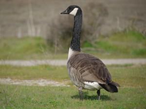 Image result for canada goose baylands