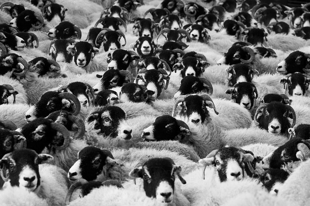 Sheep-In-A-Crowd-Public-Domain