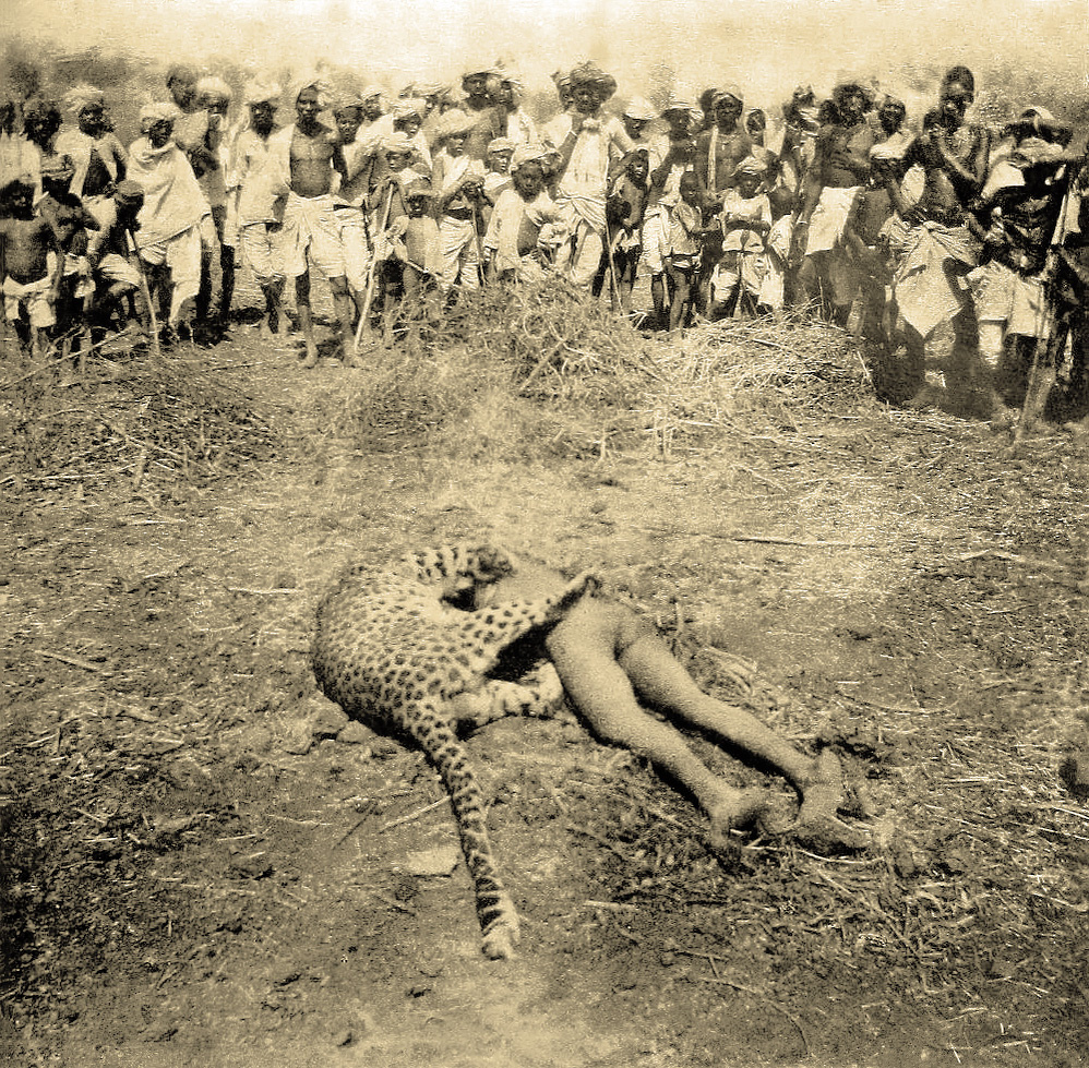 Gunsore_leopard_(Somnapur_village,_Seoni_district).jpg