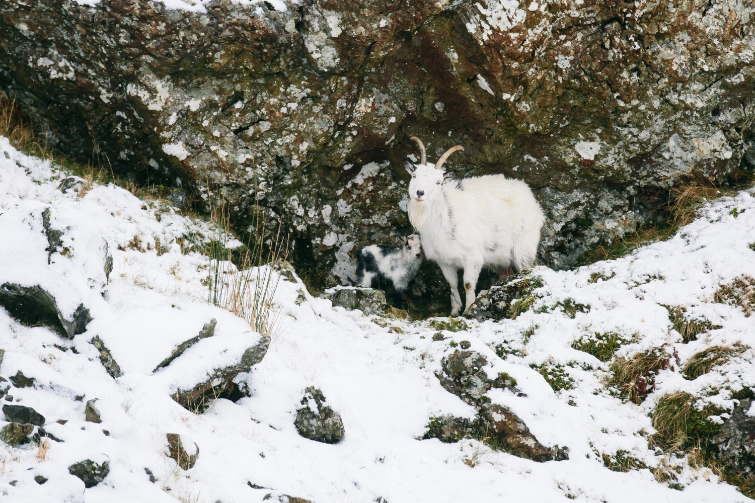 I photographed this Mountain Goat thinking that it's just ONE Goat. Take a closer look ;)