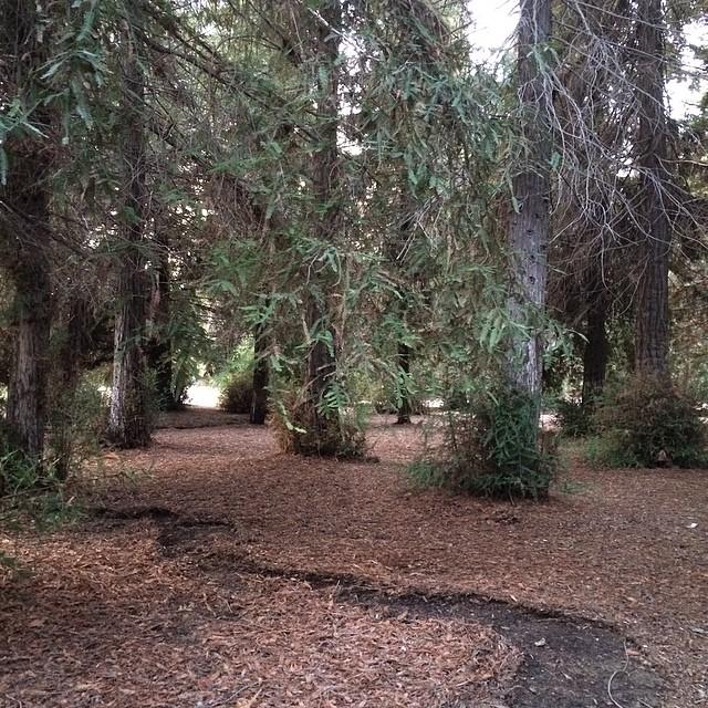 Surprise! Redwoods!