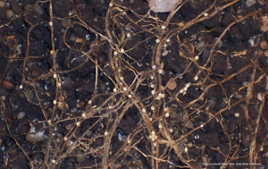 Figure 1. Females of the soybean cyst nematode (white to yellow-colored oval shaped objects attached to roots) infecting soybean roots. (Photo: Dr. Greg Tylka, Iowa State University)