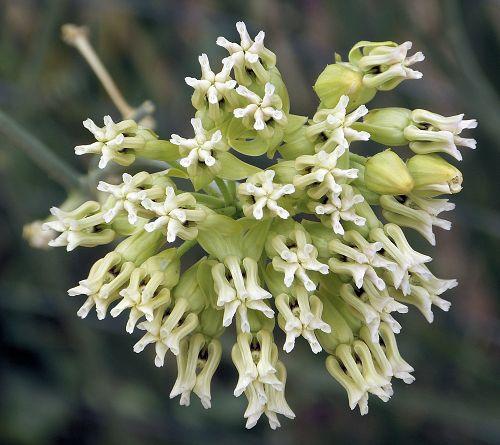The toughest of all the milkweeds — Spadefoot Nursery