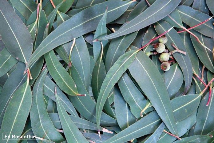 eucalyptus-ed-rosenthal.jpg