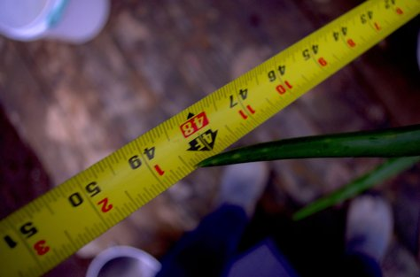 Yellow tape measure and green tip of an aloe vera branch showing 48.5 inches