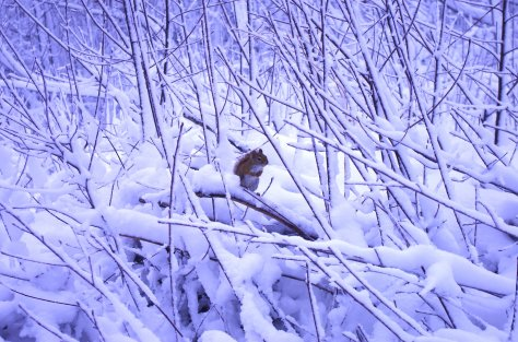 Red squirrel perched in a snowscape of many vertical branches, all snow laden, with paws folded over chest and tail against back