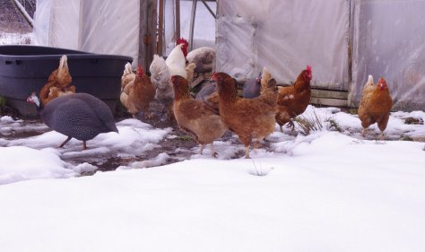Six brownish hens, one pearl grey guinea fowl, one white rooster, in a group in front of open door of clear plastic wrapped structure, turning away from the snow and back towards door.