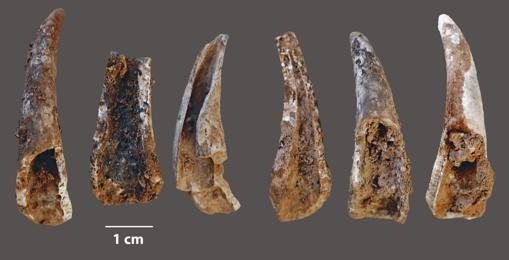 Pieces of clam Ruditapes decussatus, found on the site.
