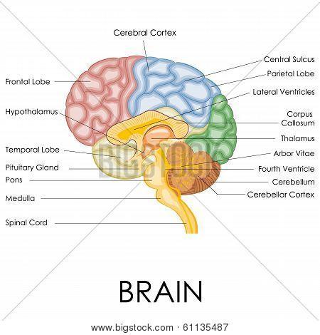human brain anatomy poster id 61135487