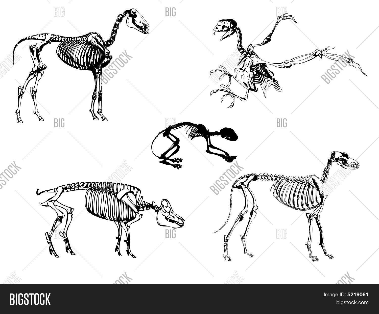 Animals Skeleton Vector Amp Photo Free Trial
