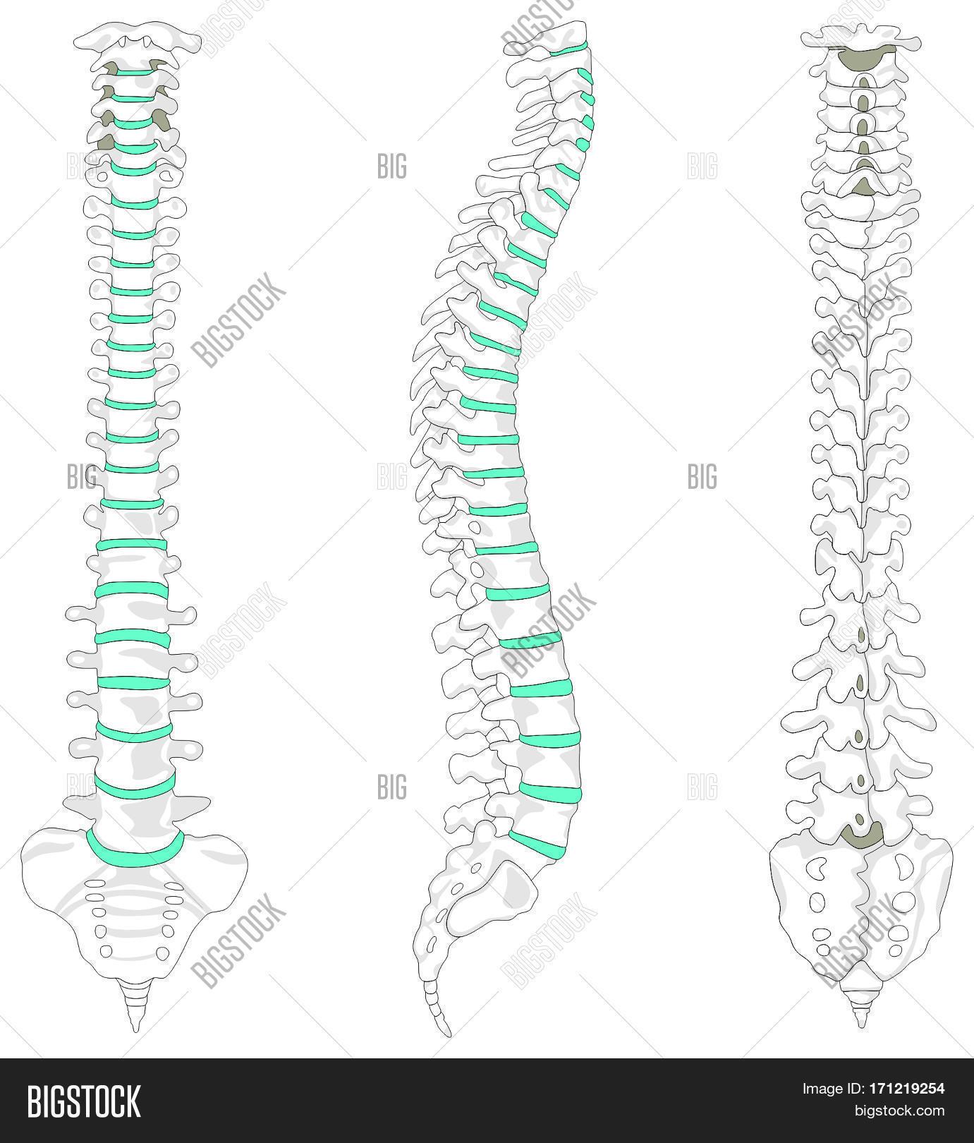 Vertebral Column Spine Image Amp Photo Free Trial