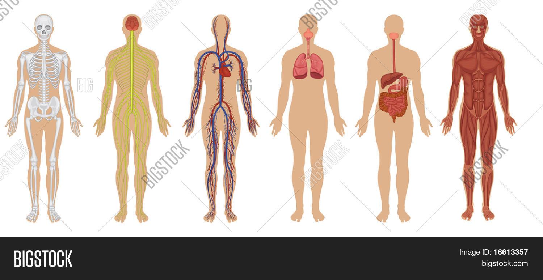 Six Main Human Body Image Amp Photo Free Trial