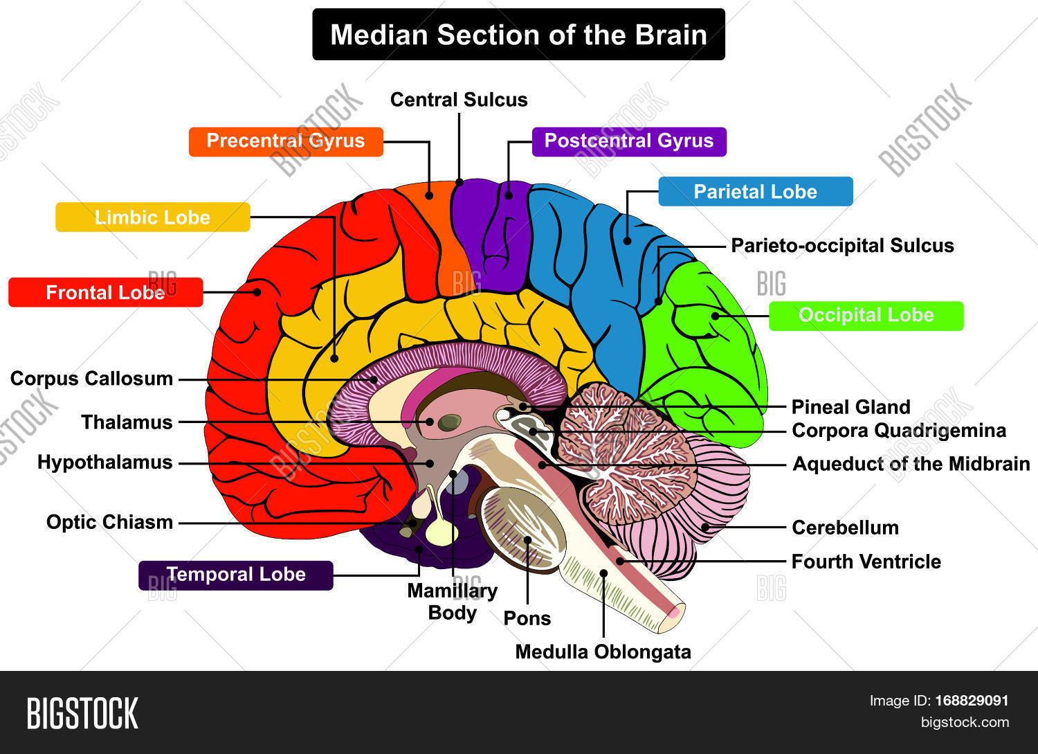 Median Section Human Image Amp Photo Free Trial