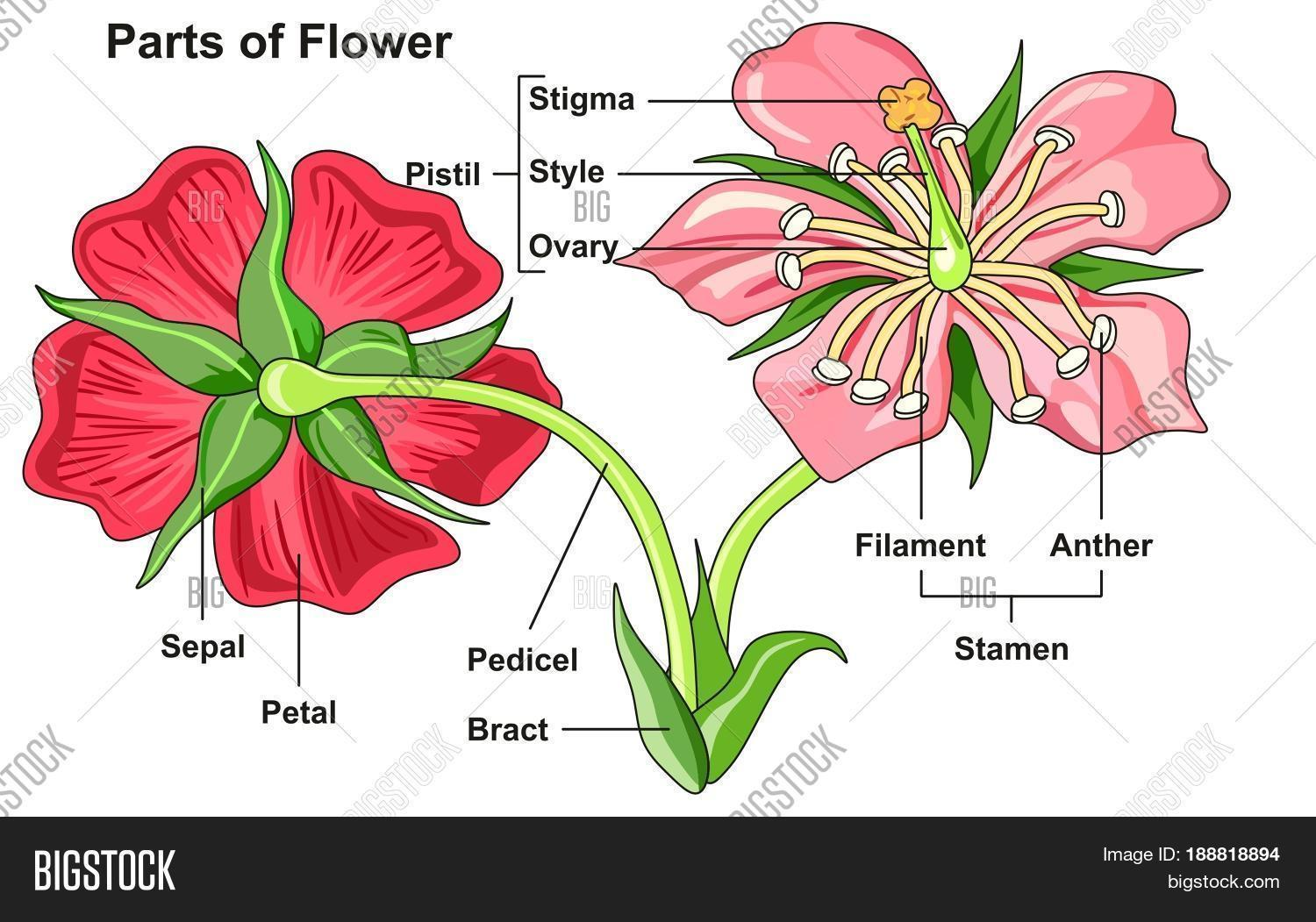 Flower Parts Diagram Image Amp Photo Free Trial